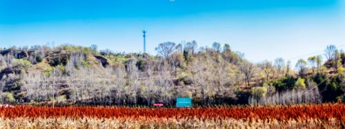 高粱红了,大幕开启——山河醋业有限公司2000亩原料种植基地喜获丰收